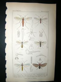 Cuvier C1835 Antique Hand Col Print. Dixa, Chionea, Ryhphus 103 Insects